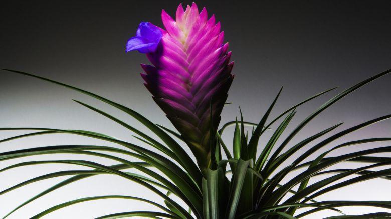 Le piante che mangiano l 39 inquinamento starbene for Tillandsia pianta