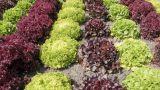 campo-insalata