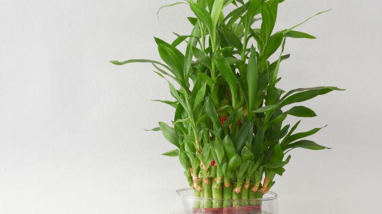 5 piante giuste da coltivare in ufficio starbene - Bambu in vaso acqua ...