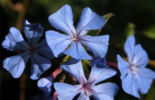 Fiori di bach e segni zodiacali for I fiori della balsamina