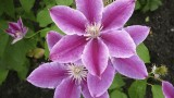 Clematis_Cancro
