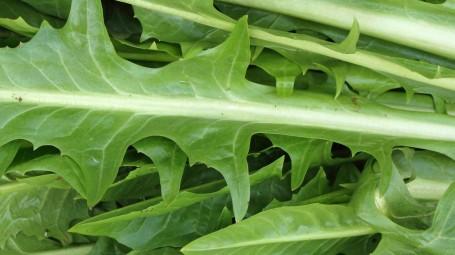 Cicoria, i benefici detox