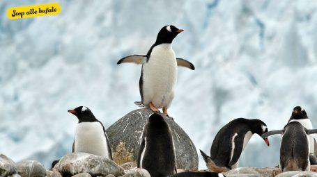 È vero che una colonia di pinguini vive su un'isola di plastica?