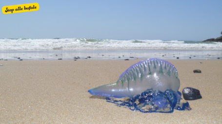 È vero che un organismo velenoso invade i mari della Puglia?