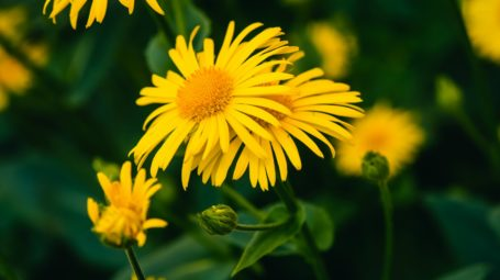 Arnica: proprietà, uso e benefici