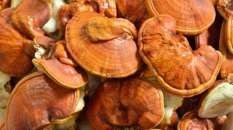 fungo reishi (Ganoderma lucidum).